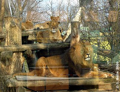 Die Löwenfamilie in der Abendsonne, 21. März 2009