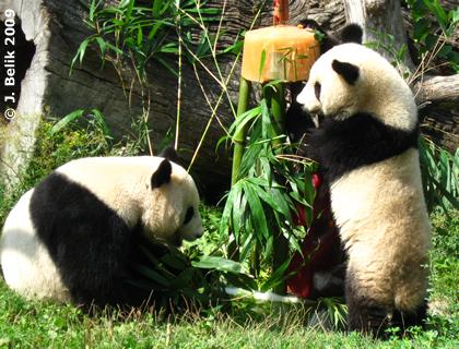 Fu Long mit Mama Yang Yang und seiner Geburtstagstorte, 23. August 2009