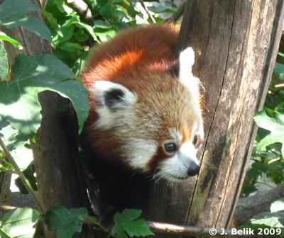 Roter Panda im Tiergarten Schönbrunn, 6. August 2009