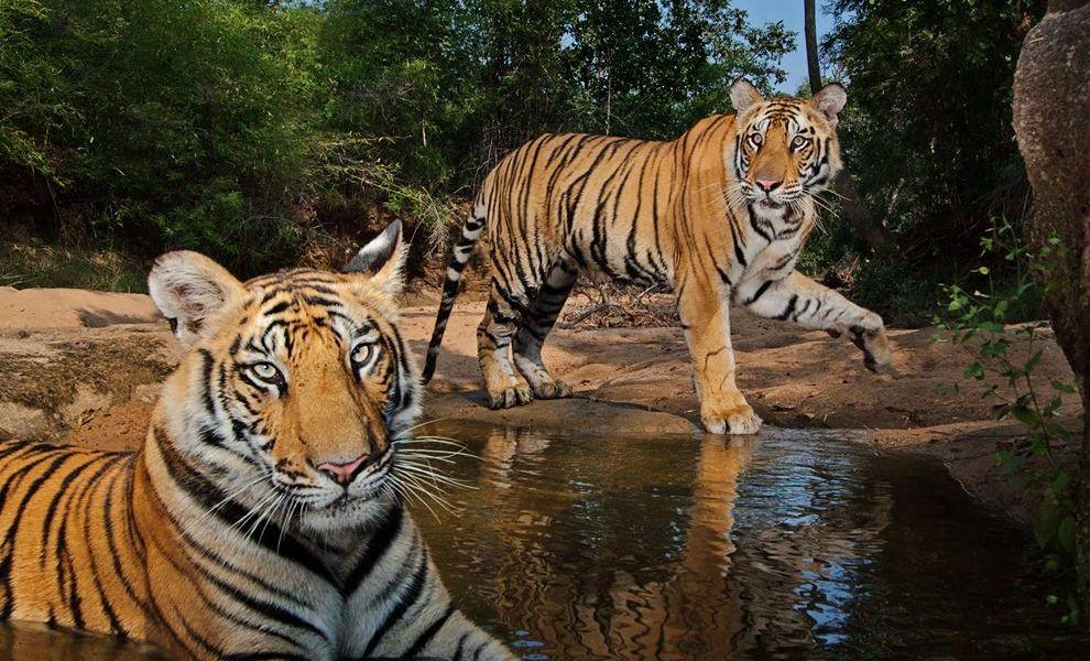 Tigers-Simlipal-National-Park