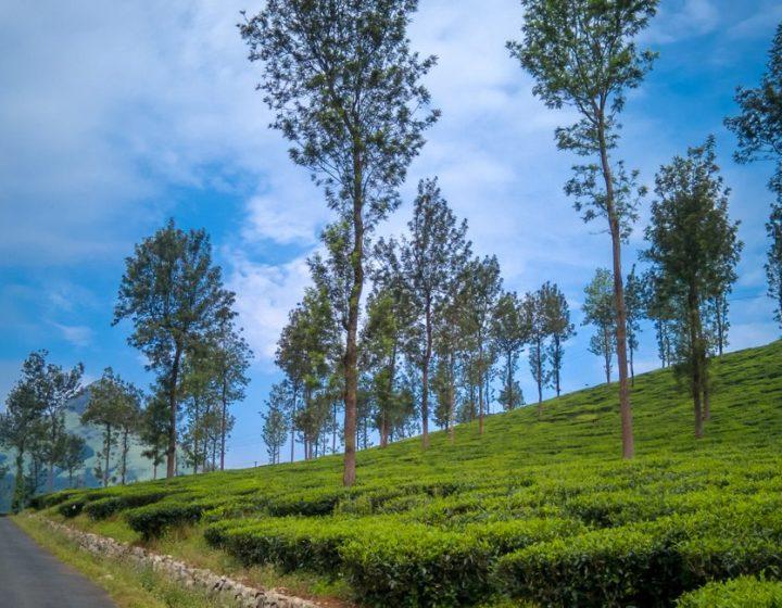 wayanad-tea-garden-kerala