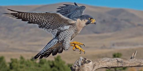 Helang Peregrine Falcon