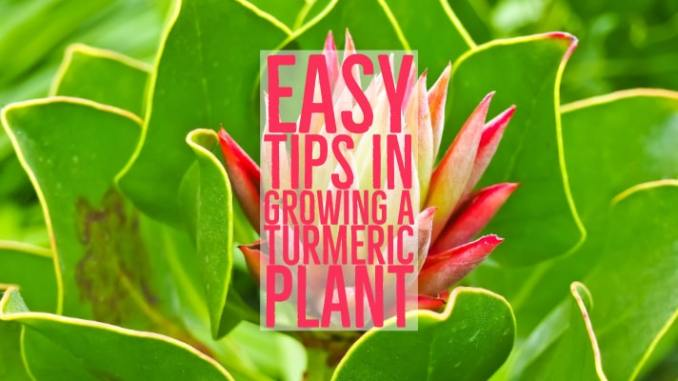growing a turmeric plant