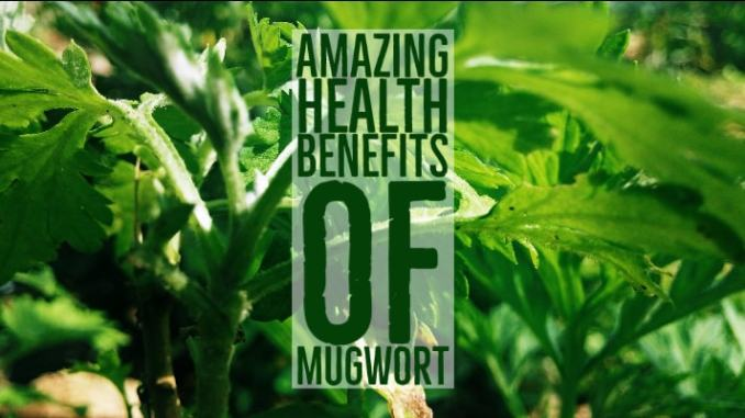 Amazing Health Benefits Mugwort