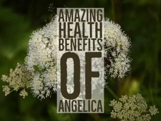 Amazing Health Benefits Angelica