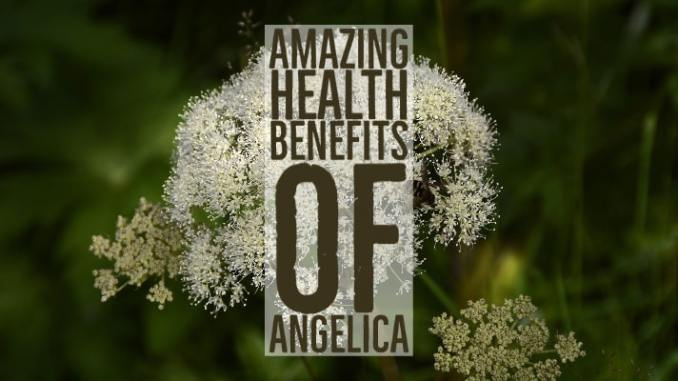 Amazing Health Benefits Angelica