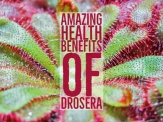 Amazing Health Benefits Drosera