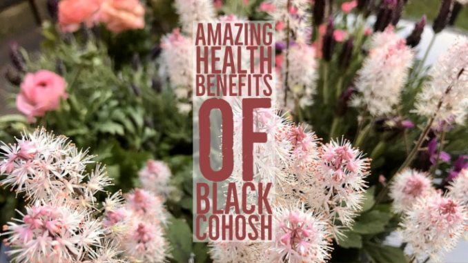 Amazing Health Benefits Black Cohosh