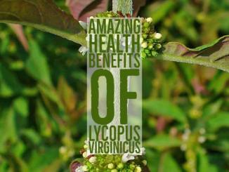 Amazing Health Benefits Lycopus Virginicus
