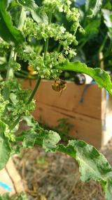 abeille-asclepiades
