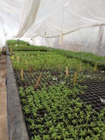 semis-persil
