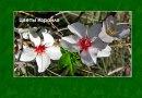 Цветы Израиля. Открытое письмо подруге