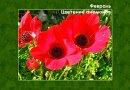 Февраль в Израиле. Цветение анемонов