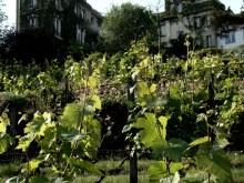 Jedyna paryska winnica przy Rue Saint-Vincent