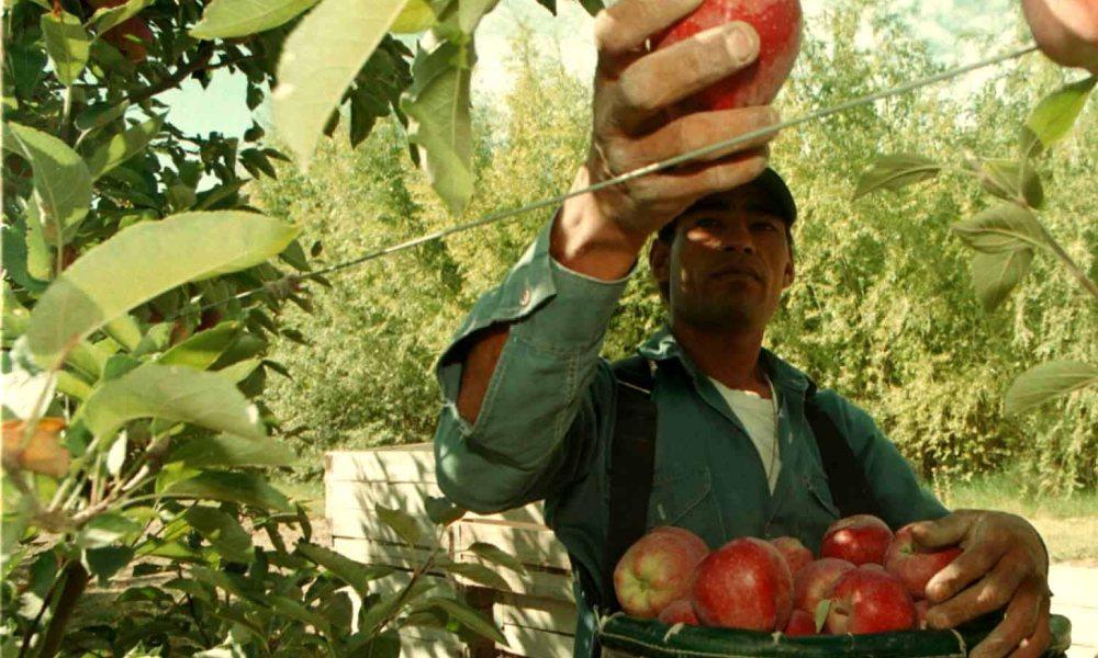 Sabes c mo se clasifican los rboles frutales panorama - Como se podan los arboles frutales ...