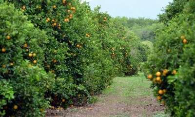 citricos1