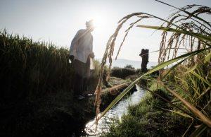 Una espiga de arroz destaca en la imagen tomada en un campo de cultivo en las orillas de Jojutla.   Máximo Cerdio