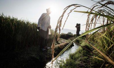 Una espiga de arroz destaca en la imagen tomada en un campo de cultivo en las orillas de Jojutla. | Máximo Cerdio