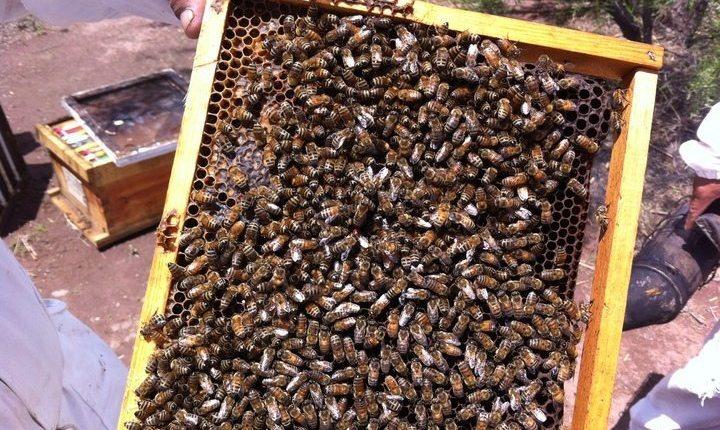 Abejas. La producción de miel fue tan baja en el estado que ahora los apicultores necesitan azúcar para alimentar sus colmenas, porque no hubo miel ni para ellas.