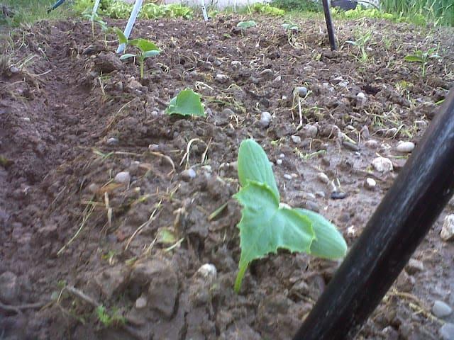 Plantones de pepino
