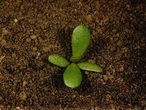 Cultivo de Verdolaga