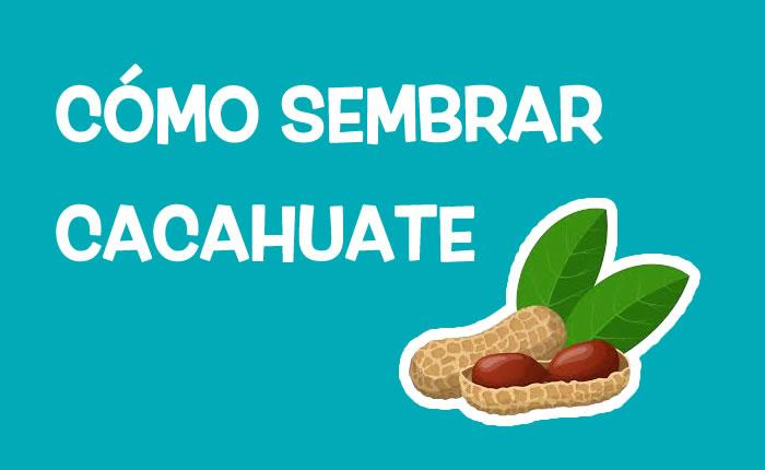 Cómo sembrar cacahuate