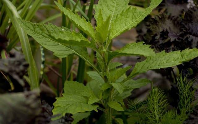 Planta de epazote