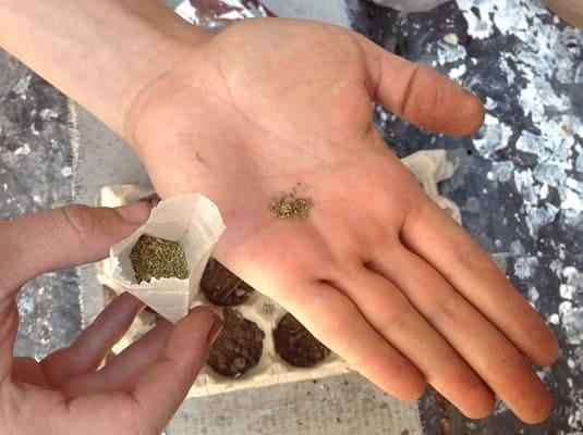 semillas-de-epazote