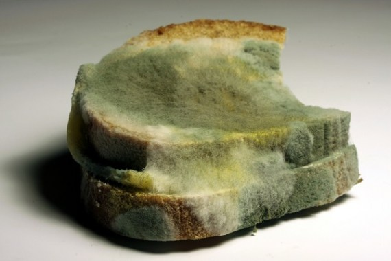 Zigomicetos, Moho negro del pan