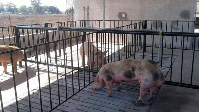 Agroindustria financió laboratorios de inseminación porcina en tres provincias del norte