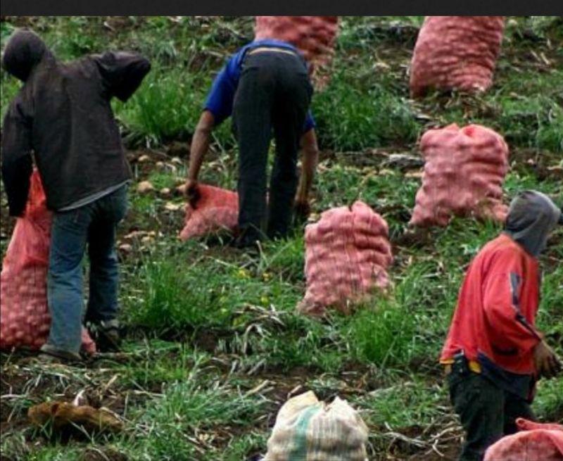 Atención: 577 millones para productores de papa en el Tolima, asignó el gobierno nacional. 1