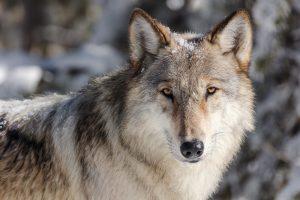 Krafttier Wolf, Das Krafttier Wolf