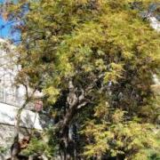 Figura 1 Albero dei Rosari (Melia zederach)