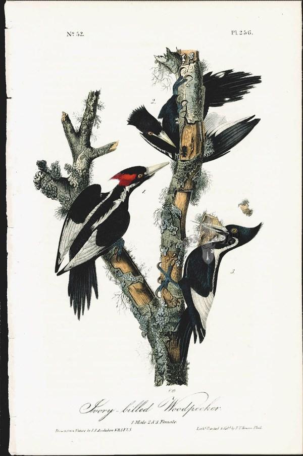 welcome ivorybilled woodpecker - 750×1136