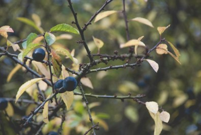 Mystery berries in the forest