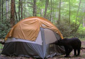 Black Bear Visits Tent