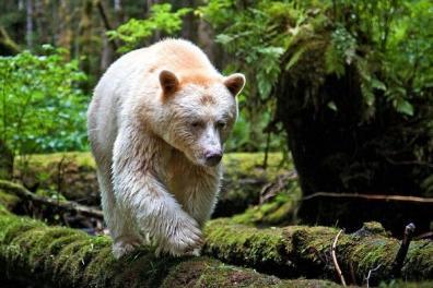 Rare Polar Bear Sighting in Panthertown