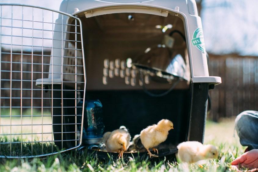 0328 chicks-004