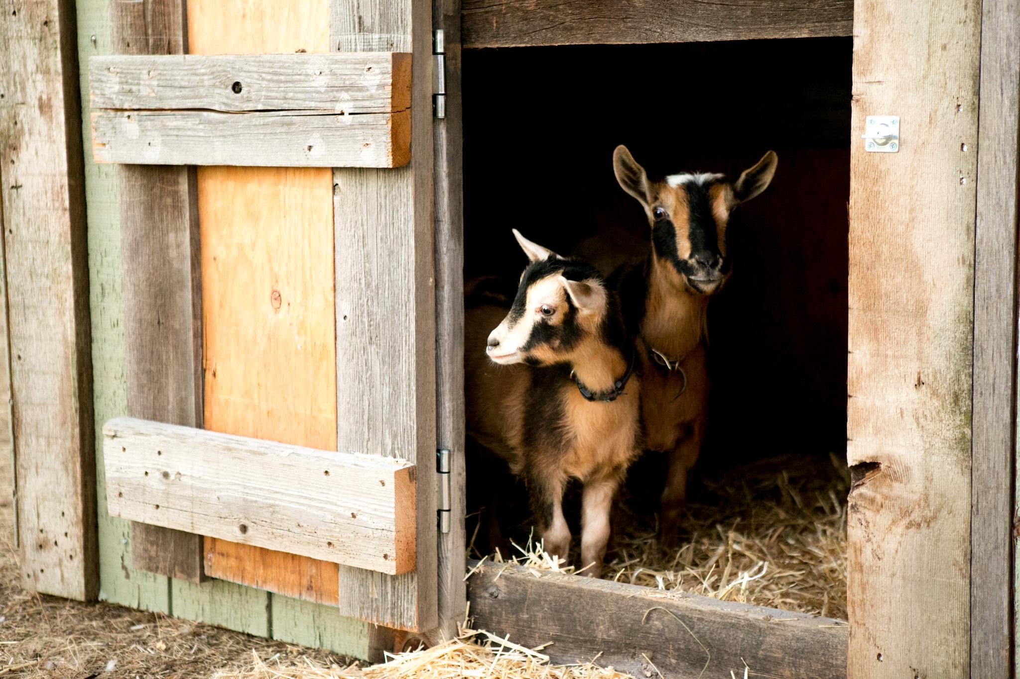 0926 goats-005