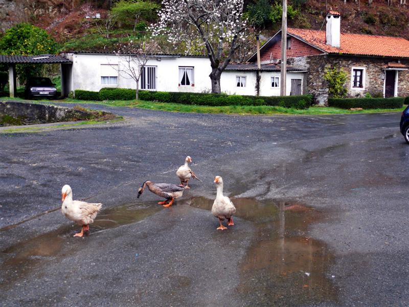 gansos-de-paseo-por-a-ramalleira-pantin-f-goiriz-17-03-08-010-1.jpg