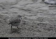 Correlimos común o playero común (Calidris alpina) - Playa de A Magdalena (Cedeira) diciembre 2101 - fotografía por Fermín Goiriz (4)