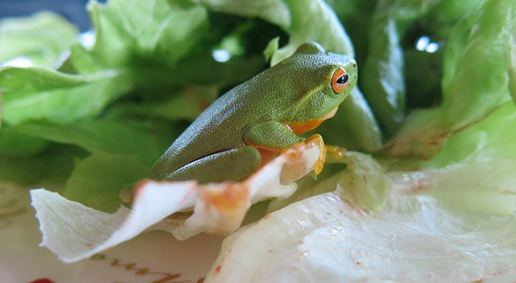 Woman Finds a Living Tree Frog in Her Organic Lettuce.