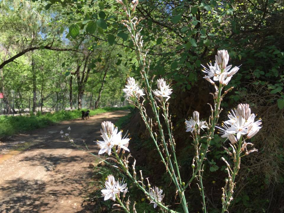 Ciris plant Asphodelus