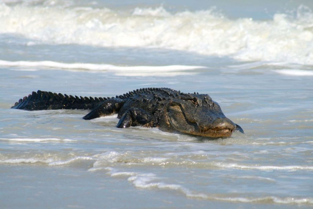 crocodile in the surf