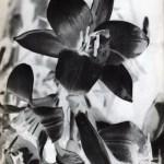 man ray solarized flowers 1934