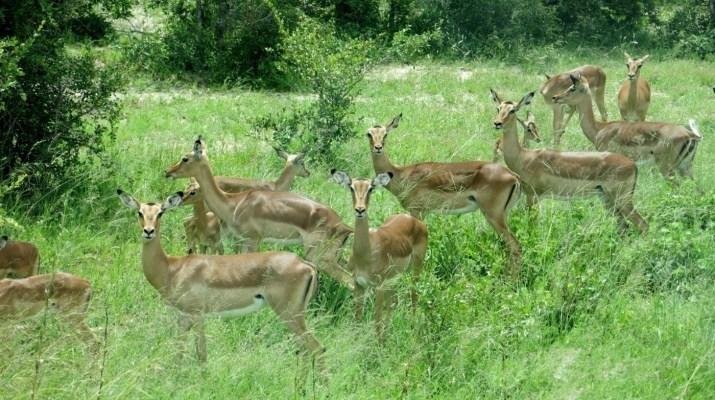 Eine Herde Impalas im hohen Gras