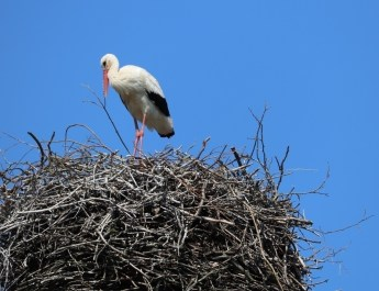 Storch auf dem Nest in Rathsdorf