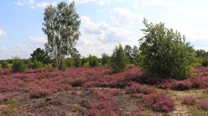 Blühendes Heidekraut in der Schönower Heide
