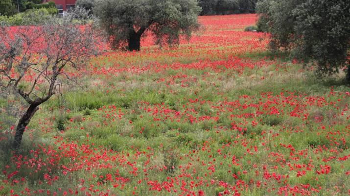 Mohnblüte in der Toskana