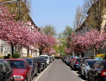 Im Frühjahr blühen die Kirschbäume in den Ceciliengärten